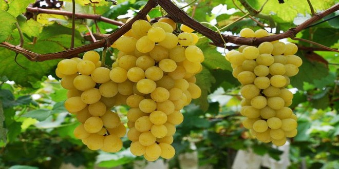 Wiki Juices - Healthy white grapes fruits