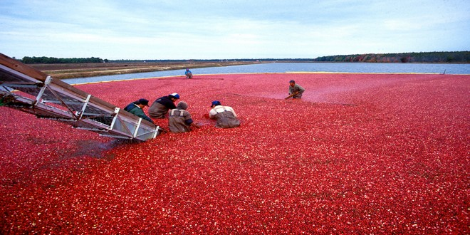Wiki Juices - Cranberry harvest New Jersey