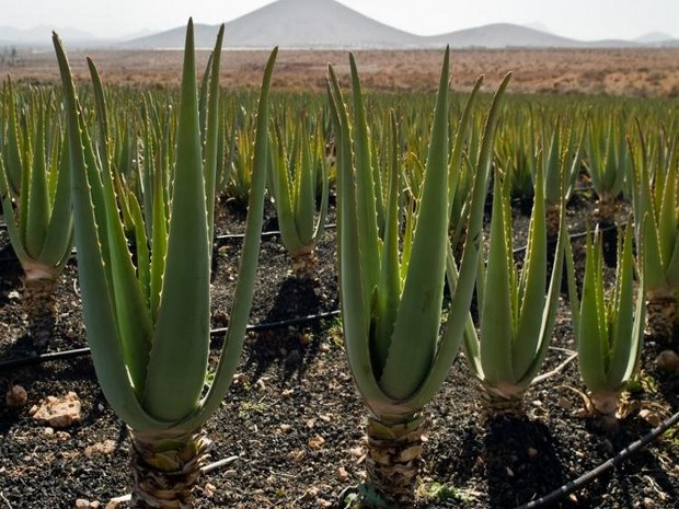 Wiki Juices - Field with Aloe Vera
