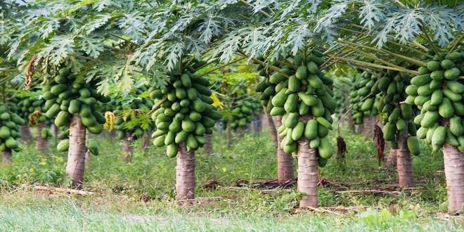 Wiki Juices - Papaya plantation